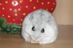 Alimentation du hamster