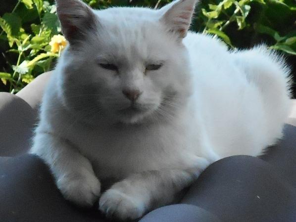 """Aujourd'hui, je suis triste! Je vous avais présenté mon gros chat sdf """" Snoopy"""", il s'est endormi pour toujours dans son fauteuil"""