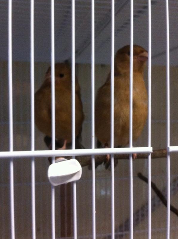 Deux jeunes femelles brunes