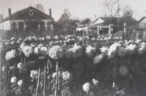 L'histoire de la chrysanthème