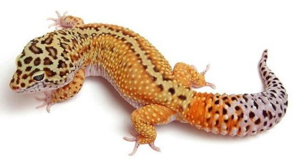 gecko leopard classique