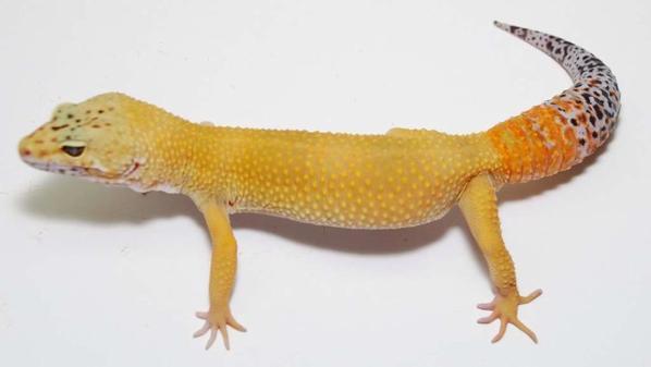 gecko hipo tangerine