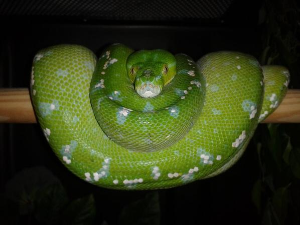mes morelia viridis