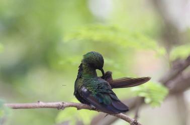 la beauté du colibri