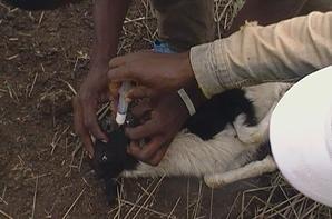 vaccinatin des petits ruminants