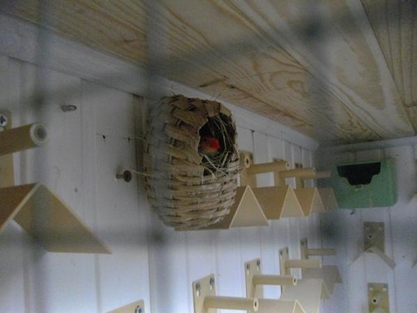 femelle ruficauda au nid
