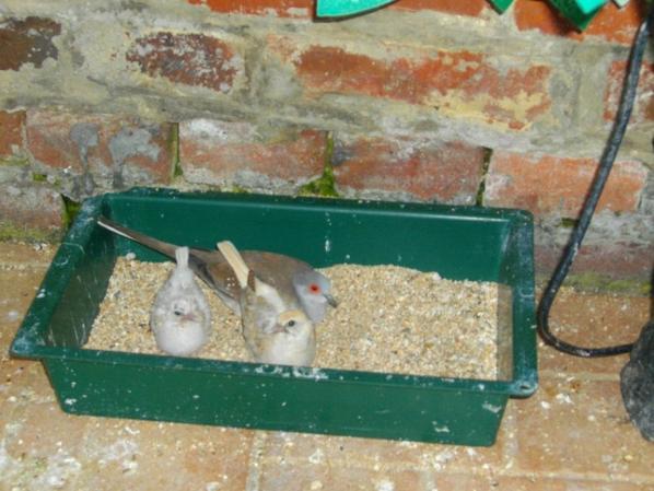 sortie du nid 2 bébés colombe diamand