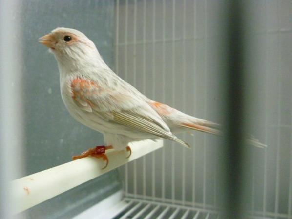 hembra agata opal rojo mosaico