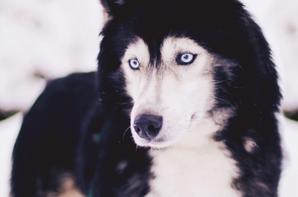 Husky †