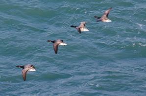 un petit tour du coté des bernaches..elles sont partout en se moment sur le littoral breton :-)
