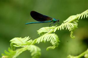 Belle rencontre avec des libellules le long d'une rivière ..magique :-)