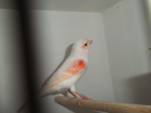 femelle lipo mosaique rouge ligné mâle.