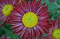 histoires de chrysanthèmes