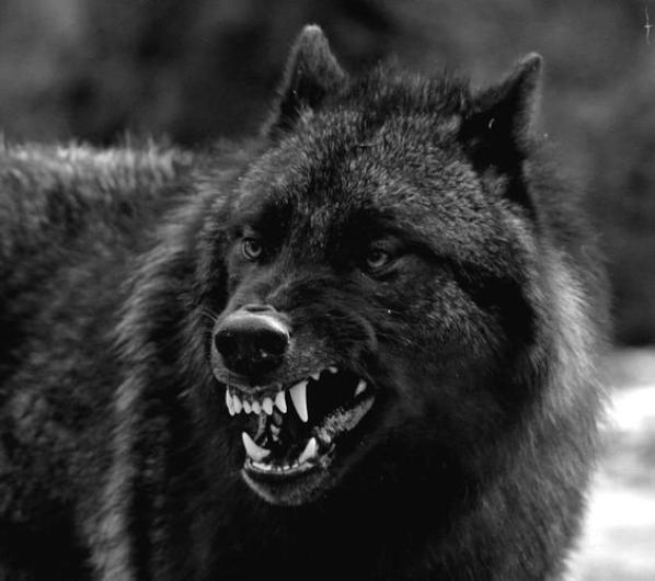 Le jour où on laissera le loup garder les troupeaux, il ne restera plus un seul mouton sur la terre