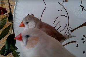 couple de dos pale pastel et grise poitrine blanche gros gabaris pour faire des gros mandarins!