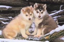 les bébés loups