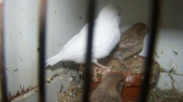jeunes blanc et aile grise r-mos +-25jours