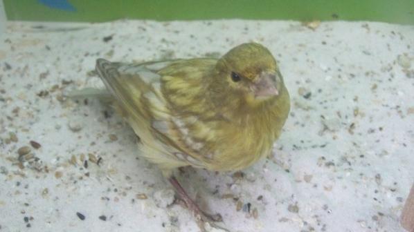 jeunes ailes grises jaune mosaique 30jours