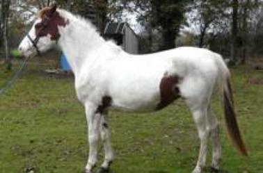 Les chevaux pies