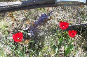 vives les tulipes