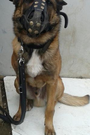 Falco malinois 4 ans. chien d interventions RATP sûreté