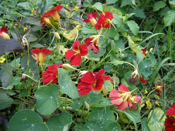 Capucine rouge et lysimiaque à feuilles rouges