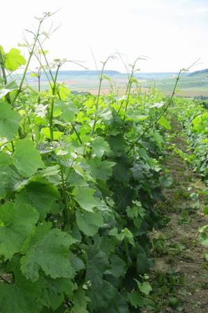 Une petite journée de taille aux vignes