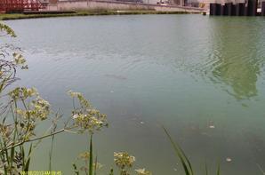 la fraye de carpes en canal au mois de juin 2013