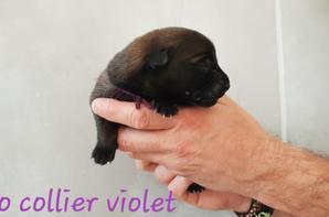 Otao mâle collier violet