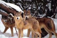 Ah les loups... Que c'est beau !