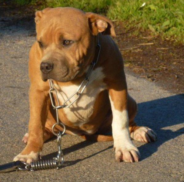 champagne-lady  american bully a vendre 5 mois