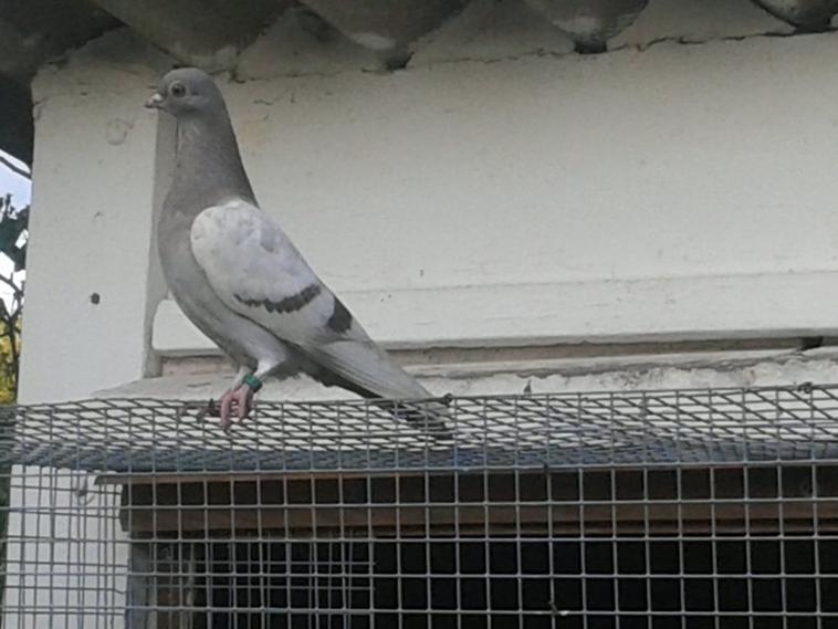 Mes pigeons en liberté !