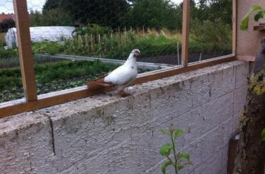 Pigeons varsovie