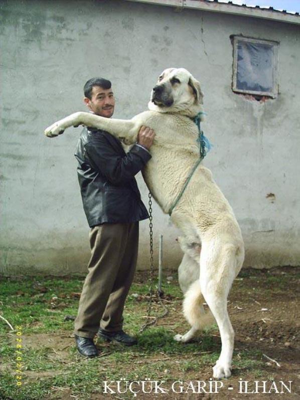 On parle du chien Kangal dans la Radio Libre