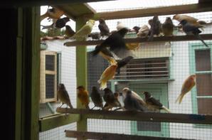 ma deuxiene  passion  apres mes pigeons