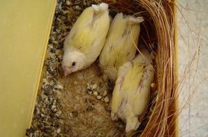 nichée de 3 jaunes