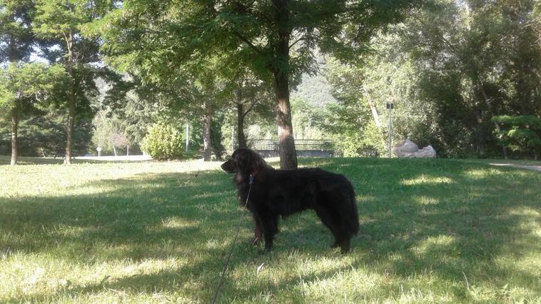voici mon petit Falco mon chien Labrador-tervuren