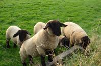 Mes agnelles 2013