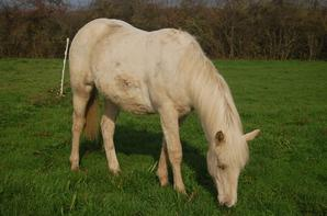 Djeslye - Quarter Horse
