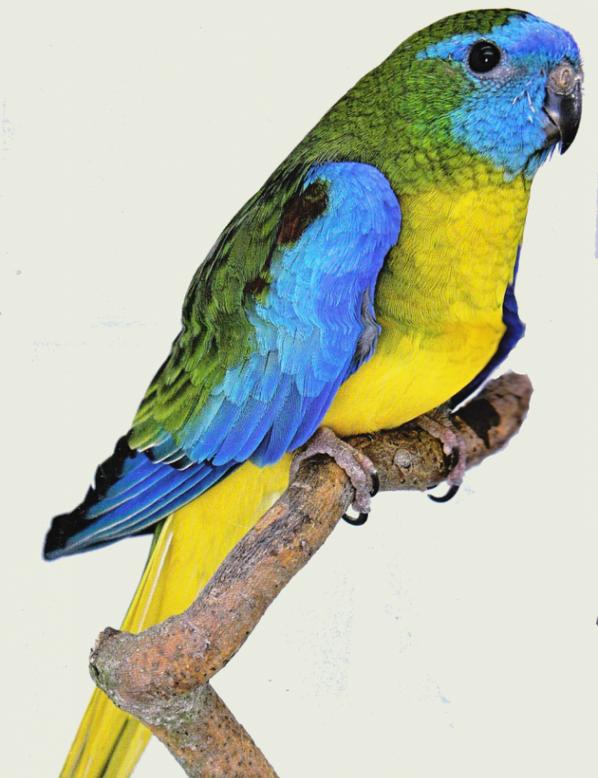 Turquoisine type sauvage