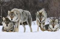 4 fatos interessantes que você talvez desconheça sobre os lobos