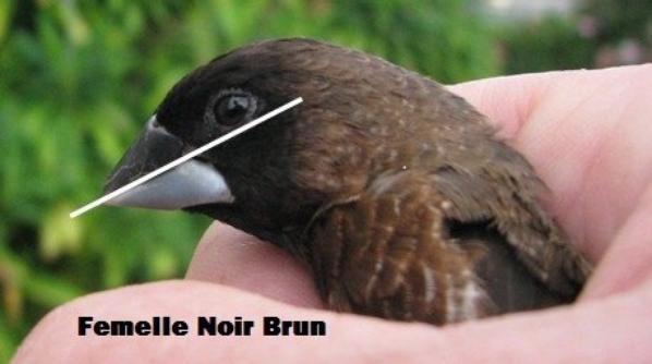 Moineau du Japon Noir Brun