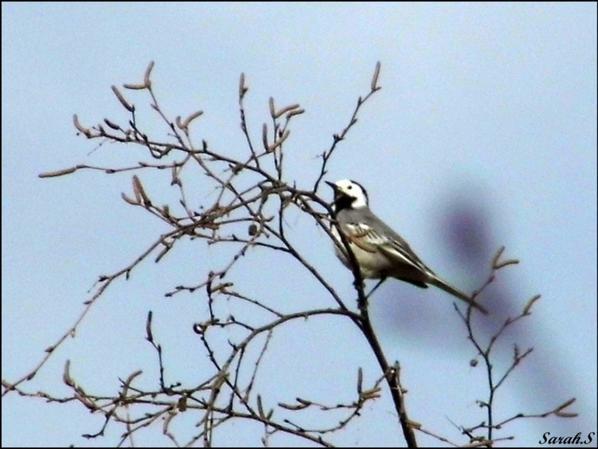 Bergeronnette grise     Motacilla alba