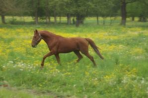 Les chevaux