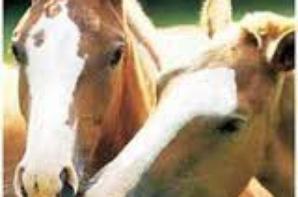 l amour des chevaux