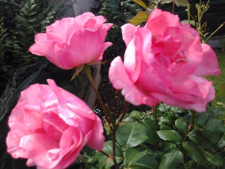Quelque fleures de chez nous