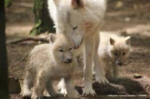 les loups et les louveteaux
