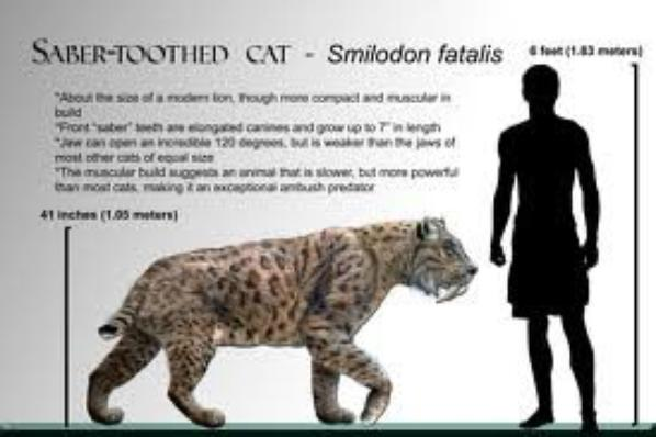 Le Smilodon (tigre à dents de sabre)