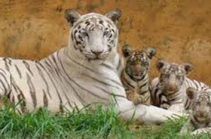 RECORD ! : La plus forte population de tigres blancs...