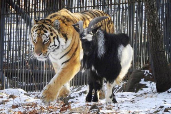 ♦ L'histoire d' Amur et Timur ♦